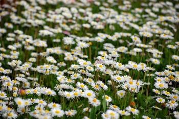 White-field-flowers1785